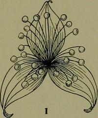 hypogyny images