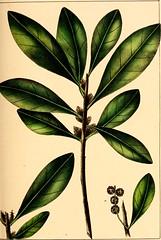 Anglų lietuvių žodynas. Žodis linear leaf reiškia linijinis lapų lietuviškai.
