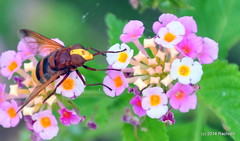 DSC_0100 (rachidH) Tags: flowers nature island fly blossoms hellas insects greece lantana kefalonia hoverfly flowerfly syrphid karavomylos rachidh