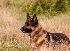 Poppy watching (mistagain1 (Work gets in the way)) Tags: uk england dog nikon shepherd walk somerset charlie german gb gsd sigma105macro d300s