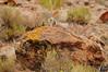 White-tailed Antelope Squirrel (cebuphotographer) Tags: utah pcc whitetailedantelopesquirrel topazmountain nikoncapturenx nikond300 sigma50500mmf4563os