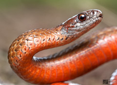 Northern Red Bellied Snake Storeria Occipitomaculata Occipitomaculata Northern Red Bellied Snake