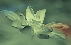 In Remembrance... (Anna Kwa) Tags: flower art nature singapore lotus robinwilliams carpediem seizetheday inremembrance deadpoetssociety johnkeating annakwa august11th2014
