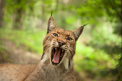 Face to face with the lynx II (OMD1961) Tags: zeiss feldkirch lynx wildpark vorarlberg luchs