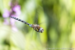 Migrant Hawker Dragonfly (Male) (Aeshna Mixta) (CentricMalteser) Tags: macro animal animals ferry canon insect eos dragonfly matthew wildlife meadows august canoneos peterborough cambridgeshire hawker invertebrate invertebrates migrant macrophotography 2014 f