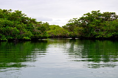 Mangrove forest on Isabela Island in the Galapagos Islands (sooolaro) Tags: forest island ecuador galapagos mangrove isabela