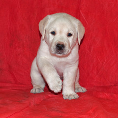 Puppy-on-Red (Photos by Cassandra01) Tags: old portrait dog pet black yellow puppy four photo puppies lab labrador yellowlab background cotton photograph retreiver cassandra pup weeks six muslin labpuppy labradorretrieverpuppy cassandrathomas photosbycassandra