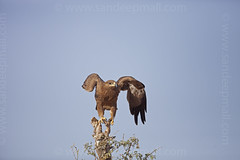 Ready to take off (www.sandeepmall.com) Tags: india birds wildlife birding bikaner rajasthan tawnyeagle avians