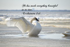 Ecclesiastes 3:11a (Sapphire Dream Photography) Tags: life white lake inspiration snow bird love ice church water birds religious bay fly frozen flying swan wings artwork truth lakeerie power christ god prayer religion pray jesus flight wing lakes free honor off christian blessing holy swans take erie icy inspirational inspire takeoff religions scripture christians gospel bibles bless testimony praise scriptures verse verses holyspirit testament ecclesiastes bibleverse godsword testimonies nocopyright ecclesiastes311 nocopyrights holyinspiration hehasmadeeverythingbeautifulinitstime ecclesiastes311a