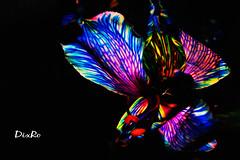 Dix Ro- Flor de Amancay (Dix Ro) Tags: flower mxico mexicana mexico photography design guadalajara jalisco bloom diseo alstroemeria regalo filmmaker artista facebook fotografa fotgrafa realizador florecer vdeo astromelia miesposo elizabethromero regaloparaminovia dixro leyendadelaflordeamancay lasfloresquemeregalominovio