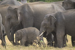 Little baby elephant in big group