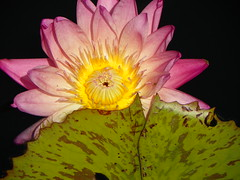 9-5-14 855 (LeeLee's pictures) Tags: flowers plants nature louisiana waterlily neworleans botanicalgardens citypark 9514