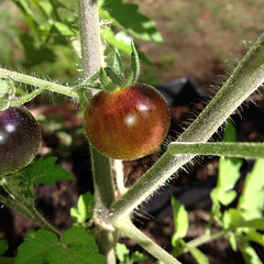 """Heirloom Blue Berries Tomato • <a style=""""font-size:0.8em;"""" href=""""http://www.flickr.com/photos/54958436@N05/14965970791/"""" target=""""_blank"""">View on Flickr</a>"""