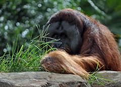Orangutan at Busch Gardens (littlestschnauzer) Tags: africa park summer vacation hairy usa holiday beautiful face animals gardens tampa outdoors eyes looking bokeh african parks august orangutan theme endangered themed primate busch captivity primates 2014 africanthemed