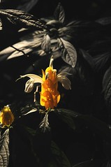 Bunte Blütenmischung - Pachystachys lutea; Queen Elizabeth Park - Bloedel Floral Conservatory, Vancouver (16) (Chironius) Tags: canada flower fleur vancouver blossom britishcolumbia flor acanthaceae fiore blüte kanada blüten цветок lamiales цветение asterids akanthusgewächse lippenblütlerartige lamiids