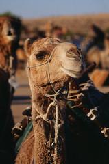 Simpson Desert (South) - Great White Lakes Survey Trek - Stage 1 -  08/2014 (shot on Kodak E100VS) (Cecilia Temperli) Tags: film nikon desert kodak australia sa kodake100vs southaustralia camels dromedar nikonfm3a simpsondesert trekkingwithcamels greatwhitelakessurveytrekstage1 simpsonwste