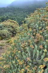 Anaphalis javanica