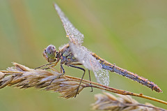 (tobiaszj) Tags: light get detail macro ex its up by composition insect photography amazing still focus close view natural pentax you bokeh live awesome iii tripod illumination sigma insects it resolution getting worth but bloody framing sometimes capture 4am makro pays mosquitos mk rendering bitten external dg trigger k5 trekker lpmm mkiii mtf 105mm mk3 hordes benbo bokehlicious bokehliciousness