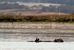 California Sea Otter on Its Back (jpmckenna - Denali Bound) Tags: kayaking californiacoast mosslanding californiaseaotter enhydralutrisnerei kayakconnection