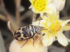 Choerocoris variegatus (terraincognita96) Tags: australia westernaustralia pindar scutelleridae variegatus choerocoris