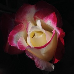 autumn rose (julkiev) Tags: