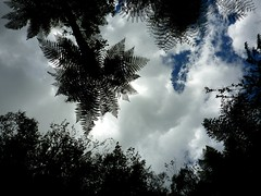 Turn to the skies (Rebekah H. Photographie) Tags: blue trees sky cloud white fern tree clouds ferns