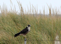 Peregrine Falcon - Nauset, Orlean, September 25, 2014s (petertrull) Tags: elements