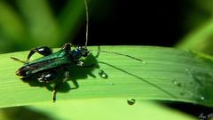 Oedemera (1) (sergeb.) Tags: macro vert insecte oedemera