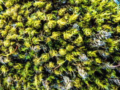 Wooly Moss (Steve Taylor (Photography)) Tags: moss art digital black brown green uk gb england greatbritain unitedkingdom plant ramsgate wooly