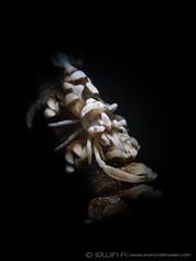 S N O O D (irwinunderwater) Tags: irwinunderwater irwinang irwinfansclub underwaterphotograhy scubadiving ocean diver nikonasia underwater uwphoto picoftheday potd diveindonesia natgeo macro lighting noodilab indonesia lombok porcelaincrab underwaterworld crustacean anemonecrab padi diverlife olympus instadive uwphotography tg4