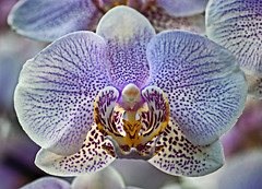 Magical Orchid (MrBlueSky*) Tags: orchid flower plant petal nature horticulture london magical pentax pentaxart pentaxlife pentaxawards pentaxistd ngc aficionados kewgardens princessofwalesconservatory