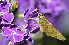 Skipper Butterfly 009 (DMT@YLOR) Tags: geishagirl moth butterfly skipper hybrid flower purple