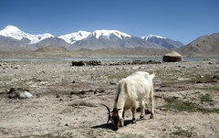 Goat  Semi Nomadic Kyrgyz Yurt Summer Camp Karakul Lake Muztagh Ata Xinjiang Uyghur Autonomous Region of China (eriagn) Tags: goat yurt livestock milk goathair weaving enclosure animal protection shelter livelihood kyrgyz men ethnic bactriancamel camel horse karakullake muztaghata chinanationalhighway314 karakoramhighway kkh sanddune river dune mountain snow peak stonebuilding highway road highaltitude scenic landscape remote rugged geology eurasianplate indianplate tectonics sarykol yellowlake gezrivercanyon ghezriver murztaghata kyrghiz pakistan pamir kunlun silkroad traderoute ngairehart ngairelawson eriagn threadsinthesand expedition travel adventure photography route asia china centralasia farwesternchina cold kongershan kashgar kashi