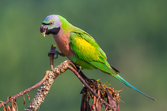 Red-breasted Parakeet (ahmedezaz76) Tags: redbreasted parakeet wild wildbird bird natural nature outdoor bangladesh green feed