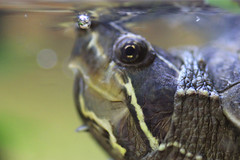 MACRO_TUR (designspace_) Tags: turtle water pet muskturtle macro sigma canon slr nature love upclose zoom lens animals reptile eye bubble oxygen photography photooftheday naturenerd