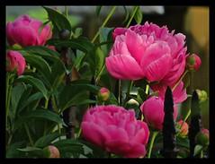Peonie (2bmolar) Tags: flower odc peonie clichesaturday
