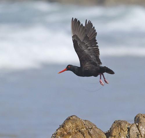 African Black Oystercatcher , _0184