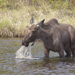 Moose (Alces alces) thumbnail