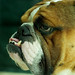 Beautiful Bulldog.