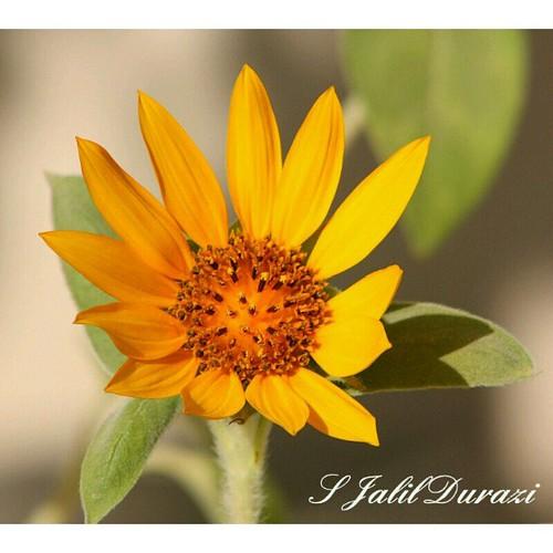 sunflowr