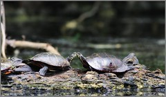 Turtle Goodbye (The Dark Side Observatory) Tags: trees lake nature water animal june canon death blood kiss kissing turtle pennsylvania reptile shell turtles farewell swamp stump damage environment goodbye survival 6d 2014 400mm beltzville carboncounty tomwildoner