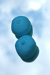 Dubble Blue (Knoffelhuisie Photography.) Tags: blue reflection blauw sweet bbw sweets marshmellow bollen reflectie snoep