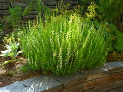 Satureja montana (Jörg Paul Kaspari) Tags: plant montana sommer pflanze herb kräuter habitus 2014 satureja wiltingen saturejamontana bergbohnenkraut