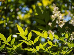 Nandin / leaves (kasa51) Tags: plant leaves japan leaf dof bokeh yokohama 南天 nandinadomestica heavenlybamboo ナンテン