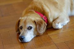 D.H. from Badass Brooklyn Animal Rescue (cisc1970) Tags: nyc dog brooklyn nikon dh fullframe fx dustinhoffman tokina100mmf28atxprod nikond800 badassbrooklynanimalrescue