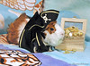 Cosey the Pirate! (sharon.griscomborst) Tags: sea pet pets cute animal animals seashells fur skull gold guineapig cavies cavy photo costume furry treasure fuzzy photos guineapigs chest adorable dressedup pirate pigs bones seashell abyssinian crossbones treasurechest skullandcrossbones piratehat animalcostume whitefur redfur piratetreasure brownfur goldtreasure