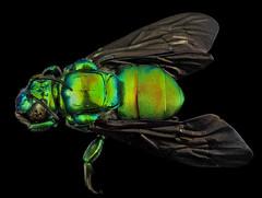 Anglų lietuvių žodynas. Žodis arthropod genus reiškia nariuotakojų genties lietuviškai.