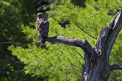 Broad-winged Hawk (brucegates) Tags: ontario birds canon f56 400mm broadwingedhawk