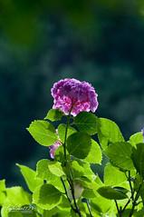 Against (Toshimo1123) Tags: flower japan hiroshima  hydrangea  mihara  sankeien