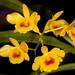 Dendrobium chrysotoxum var. suavissimum – Merle Robboy